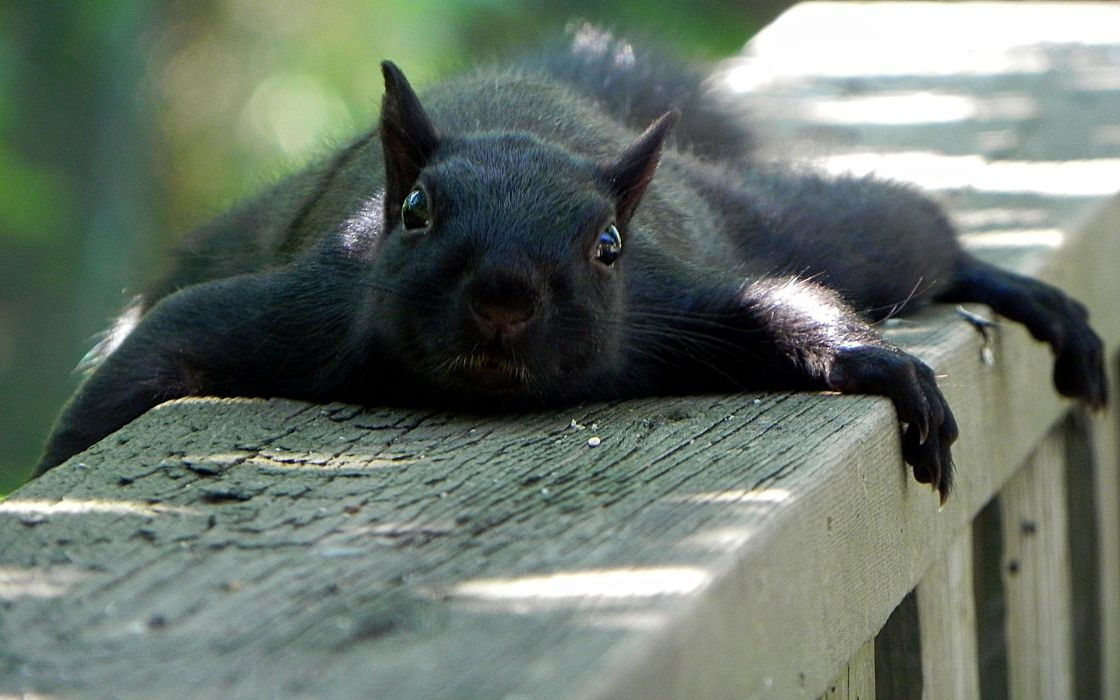 Black lazy squirrel wallpaper