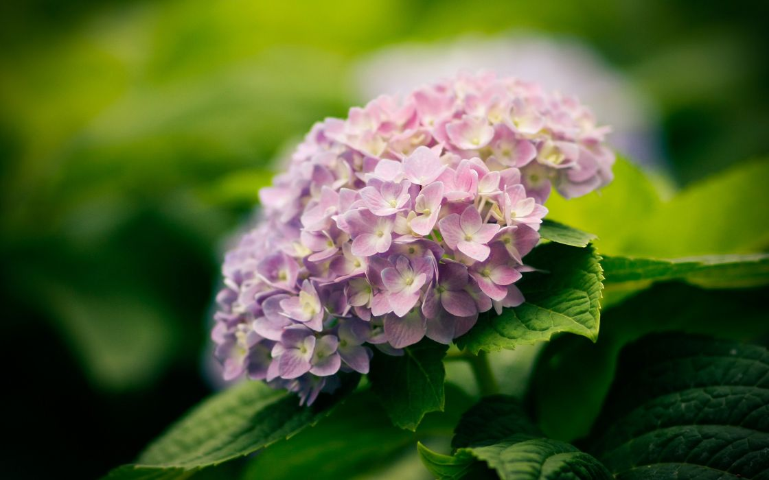Hydrangea flowers wallpaper