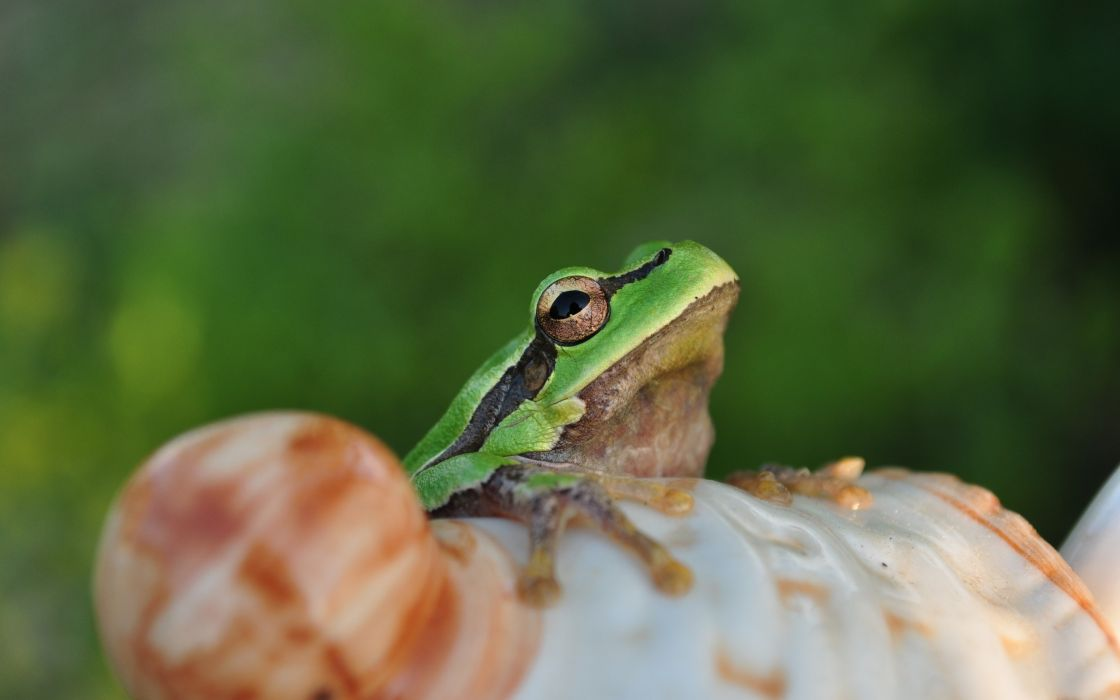 Frog on a shell wallpaper