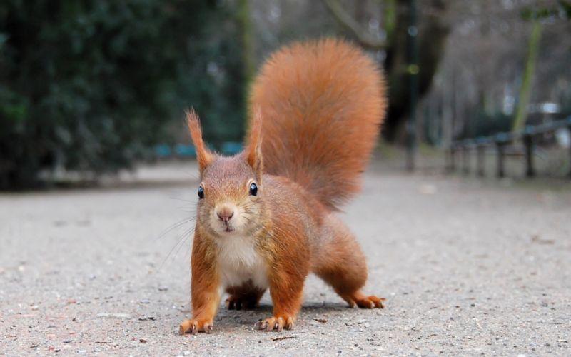 British red squirrel wallpaper