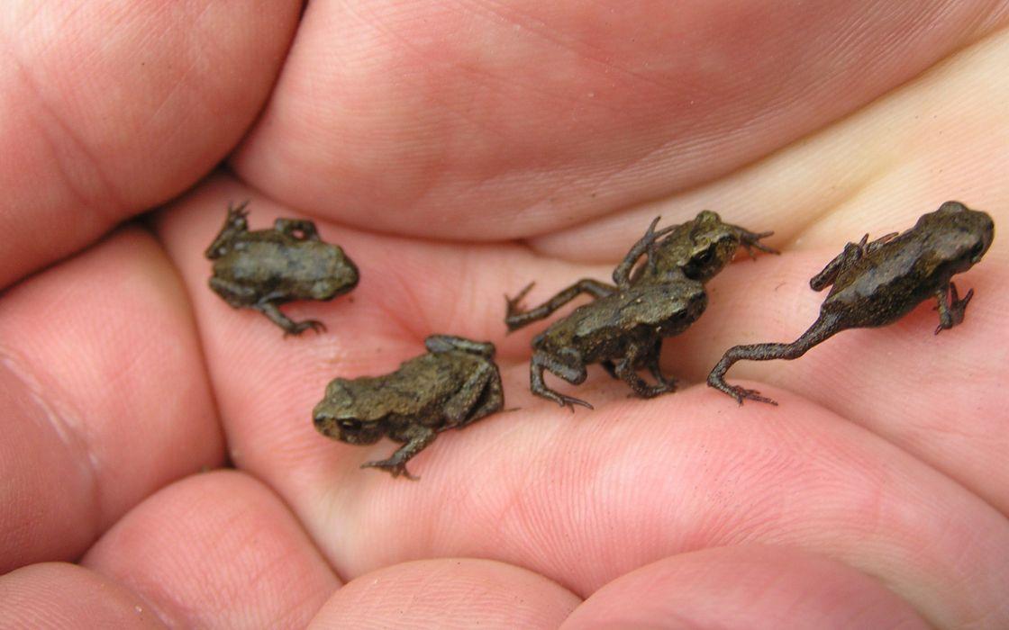 Tiny frogs wallpaper