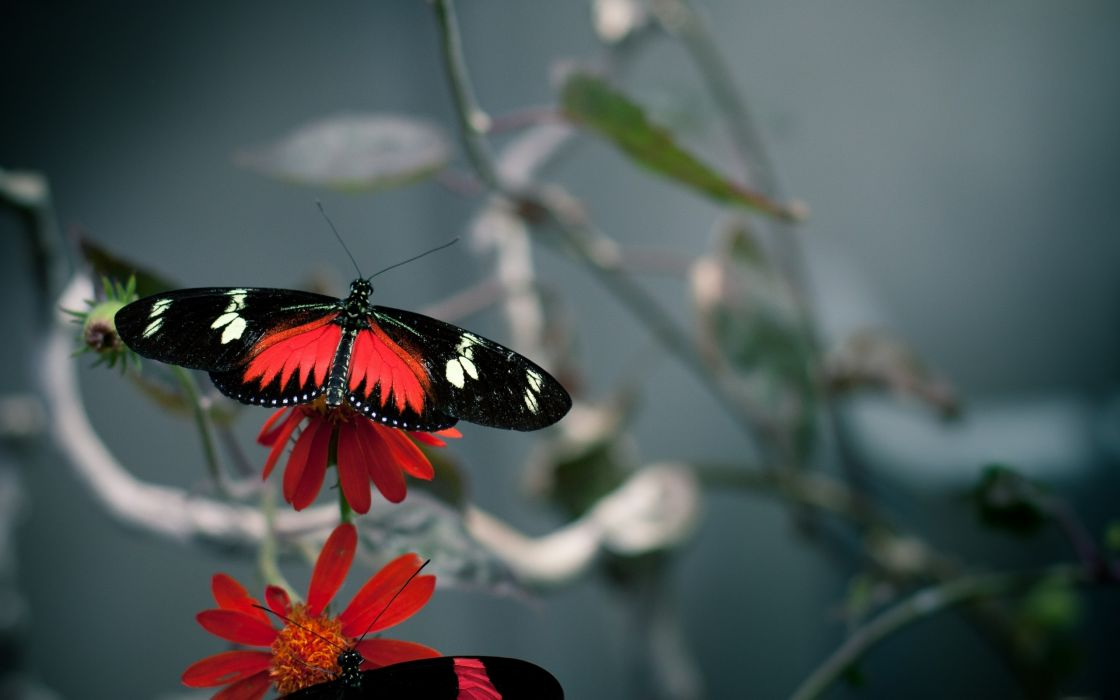 Red and black butterfly wallpaper