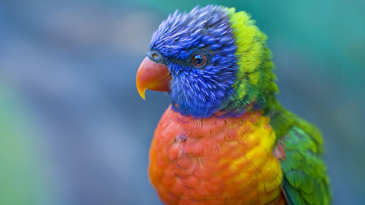 The most coloured bird wallpaper