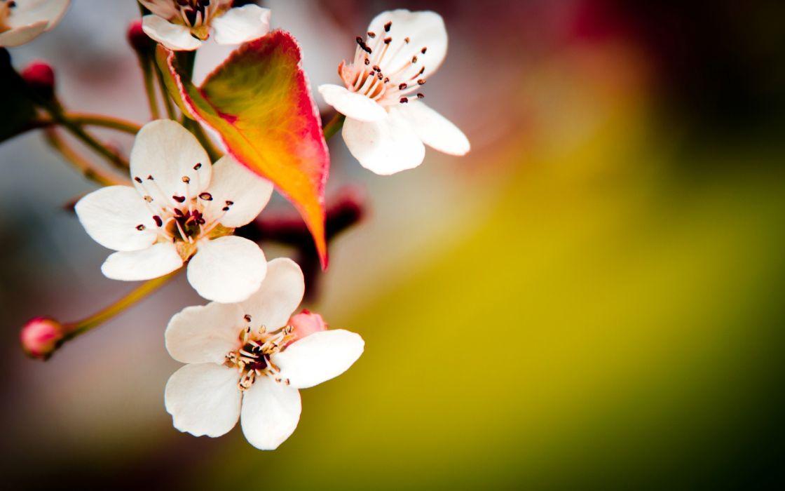 Japanese cherry flowers wallpaper