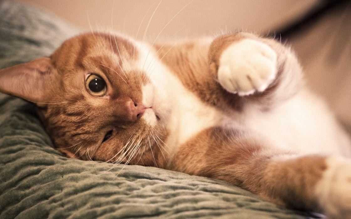 Tender red cat wallpaper