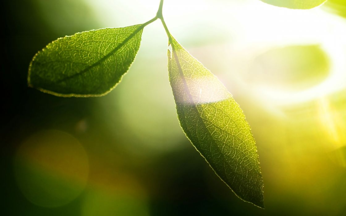 Two green leaves wallpaper