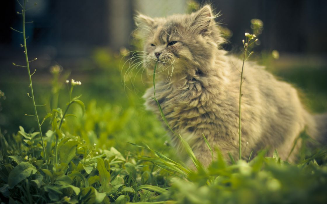 Cat eating grass wallpaper
