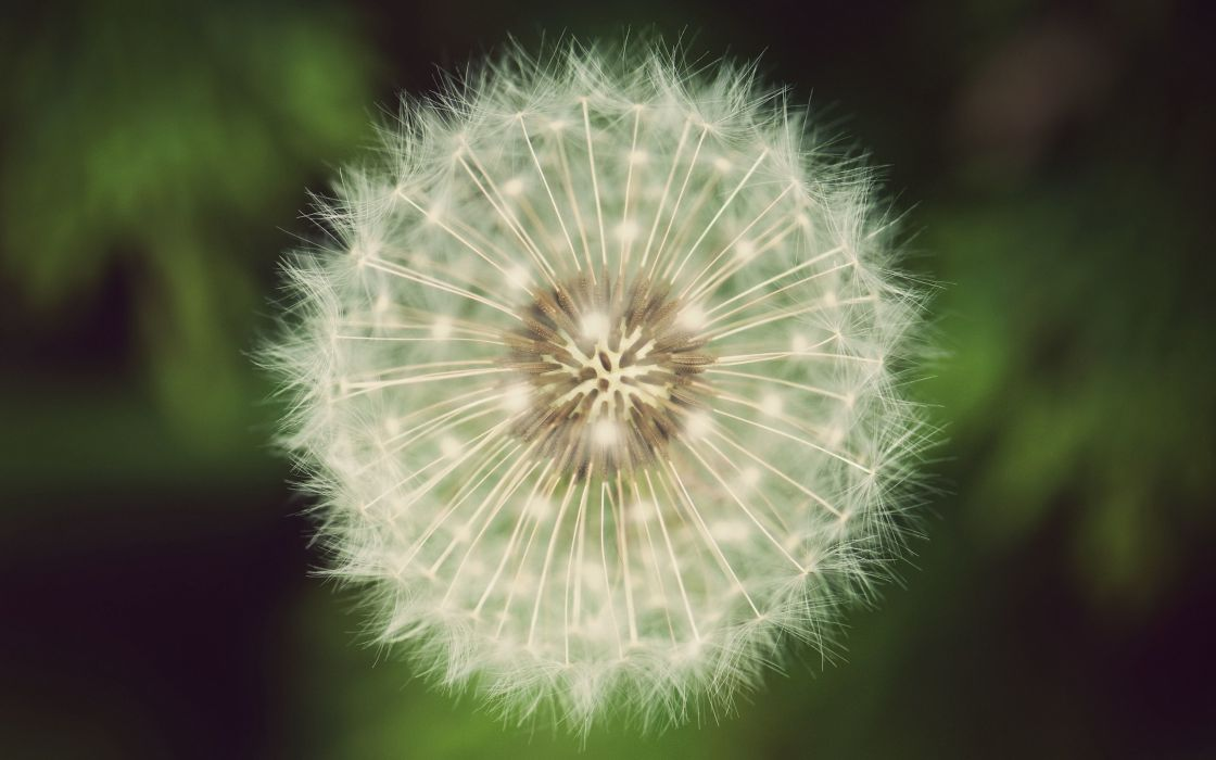 Close-up picture of a dandelion wallpaper