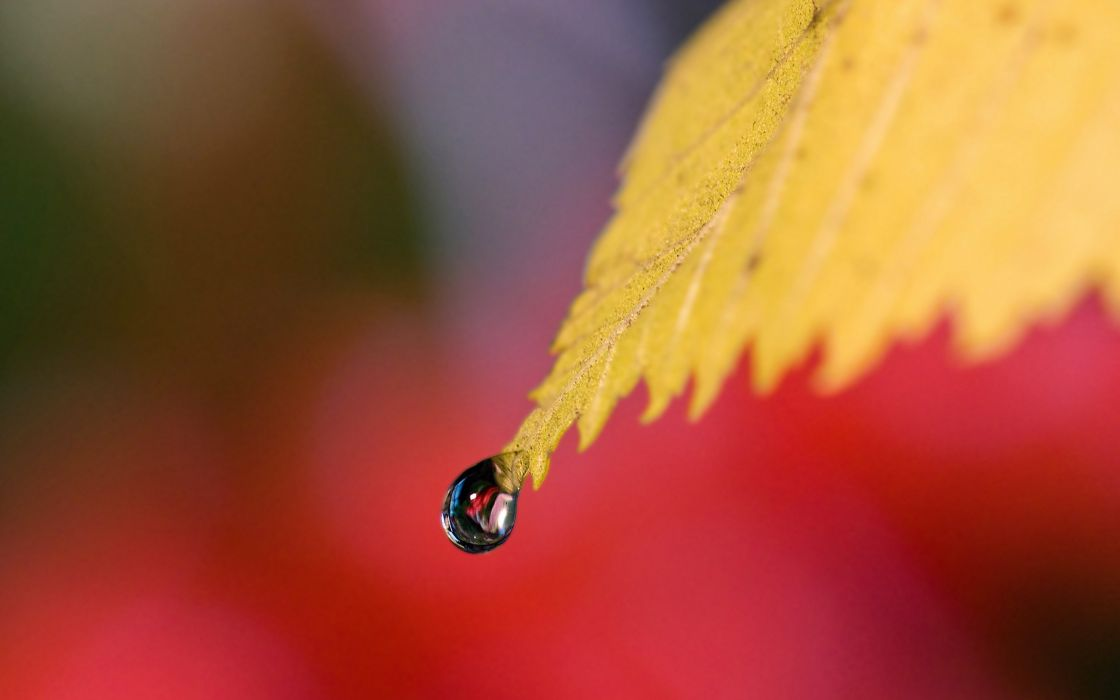 A drop falls from a yellow leaf wallpaper