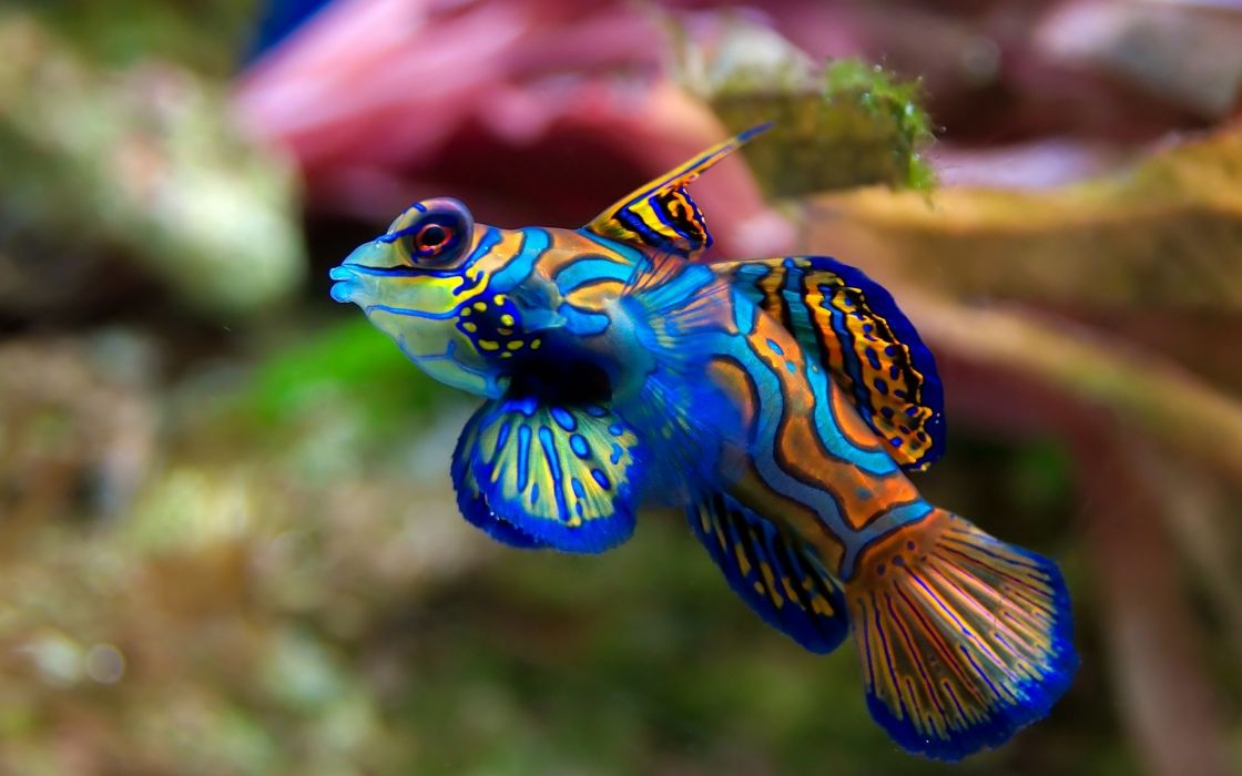 Mandarin Goby wallpaper