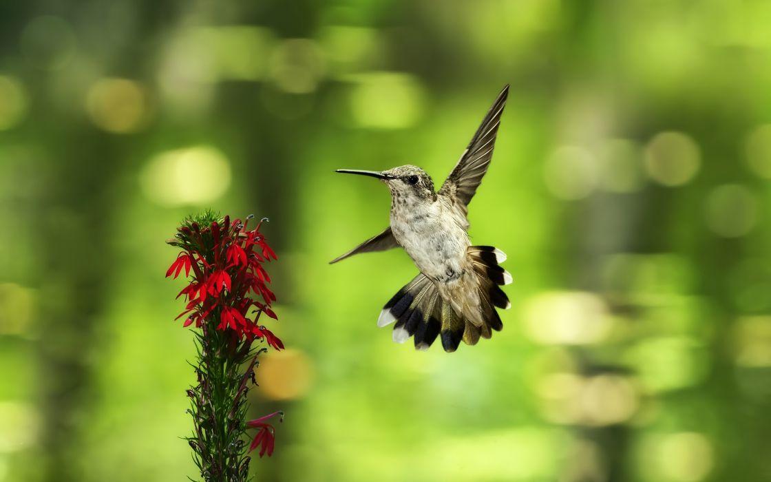 Hummingbird near a red flower wallpaper