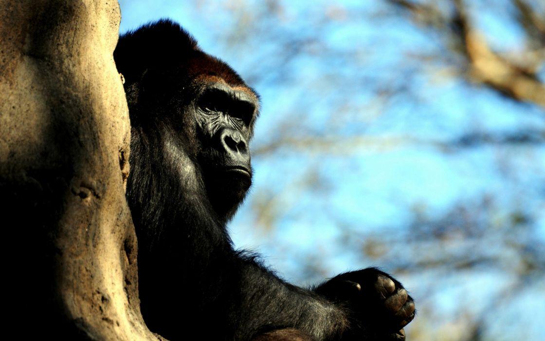 Male gorilla wallpaper