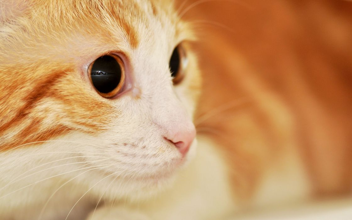 Red cat with expressive eyes wallpaper