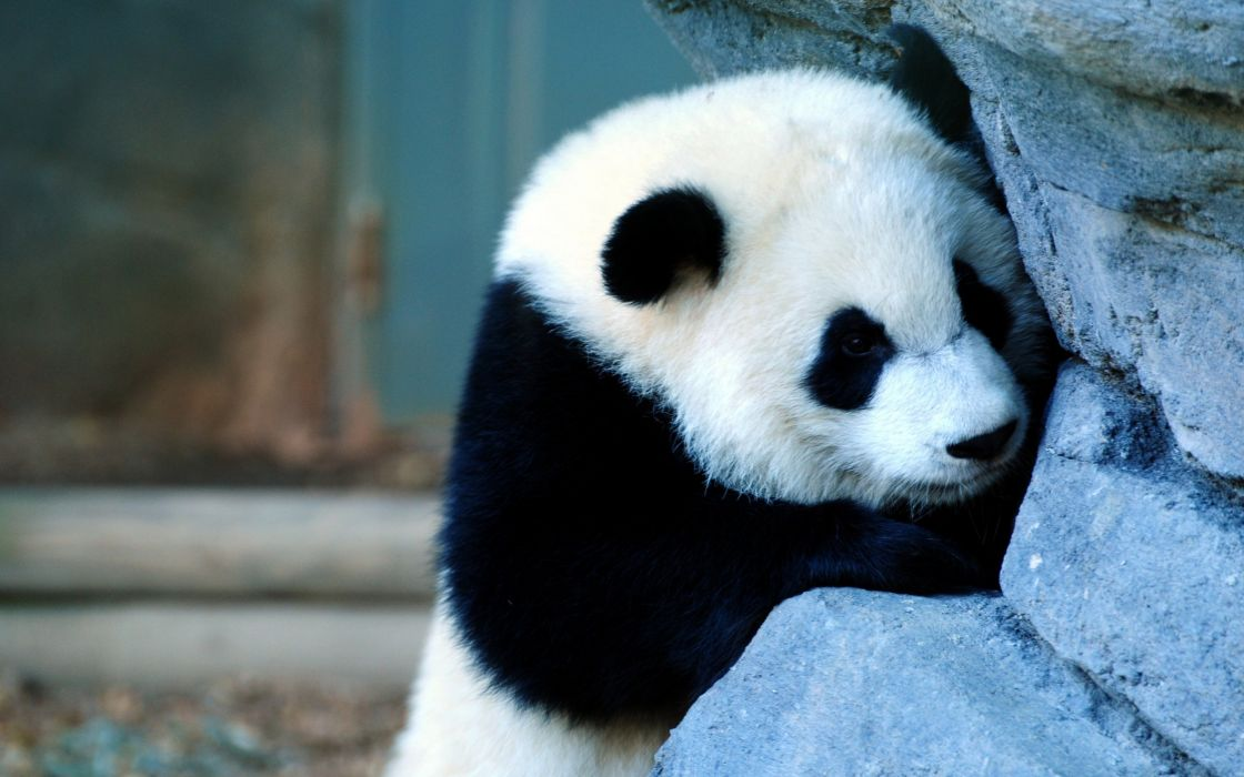 Panda clung to a rock wallpaper