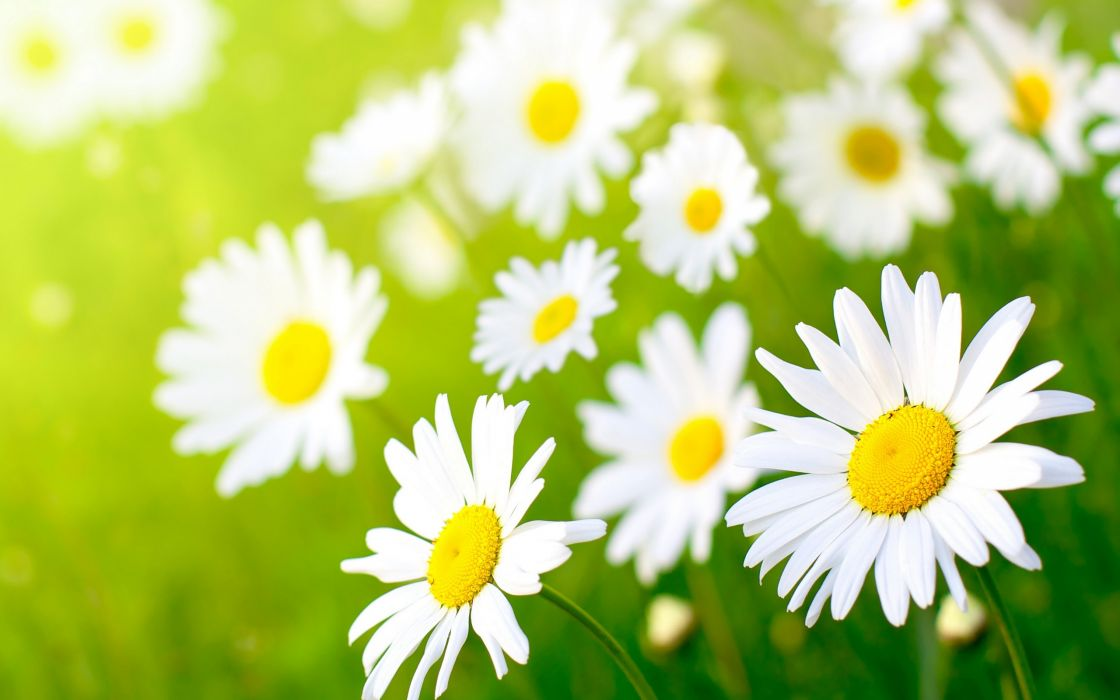 Lots of daisies wallpaper