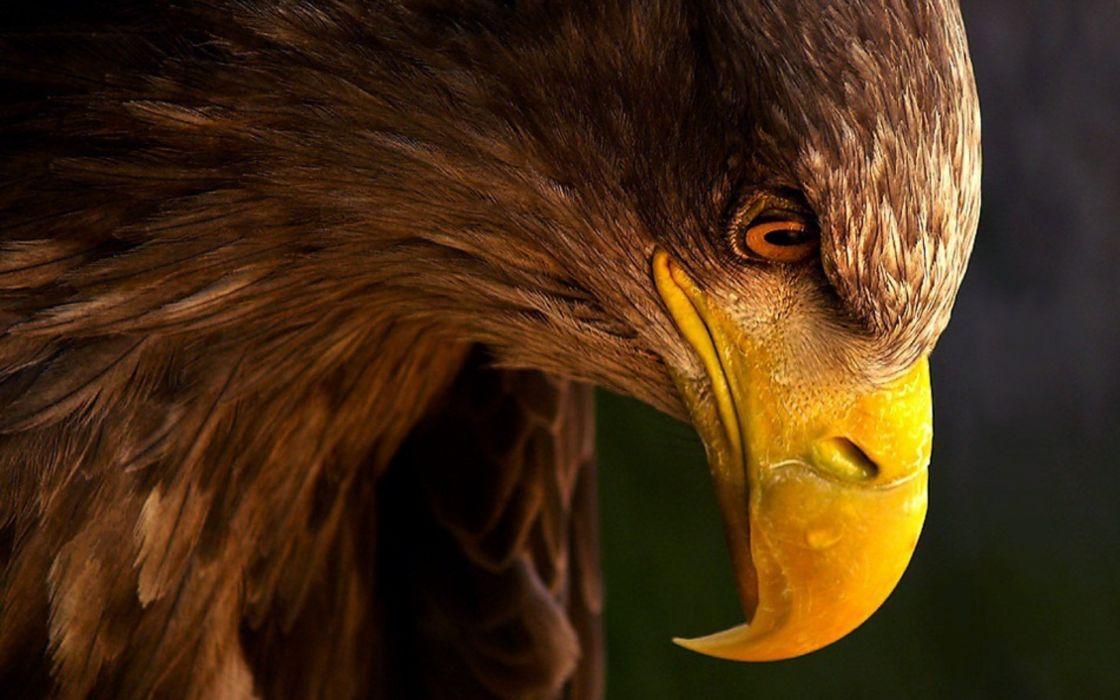 Terrible eagle wallpaper