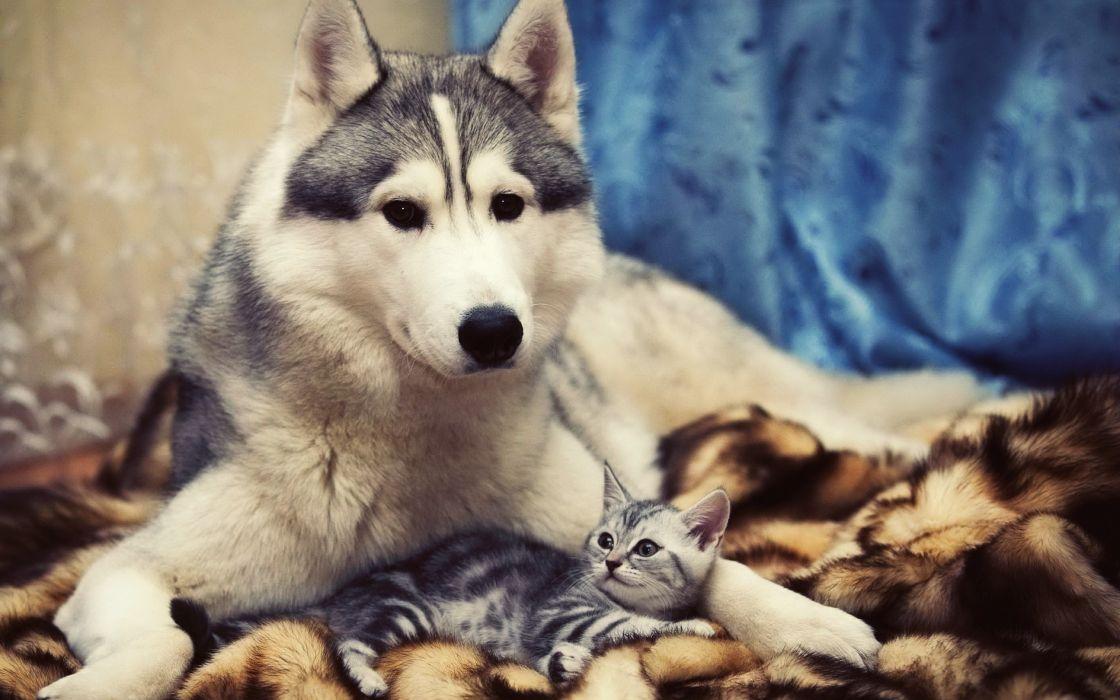 Husky and kitty wallpaper