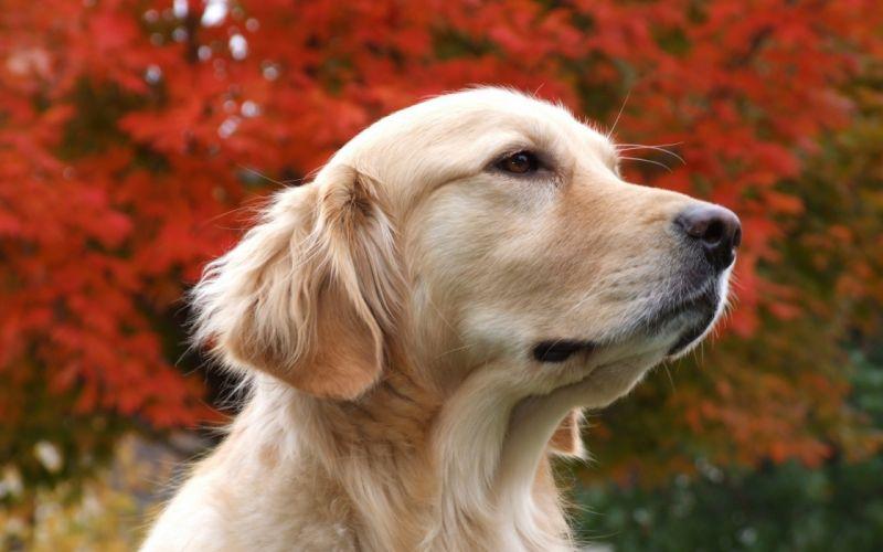 Autumn dreaming dog wallpaper