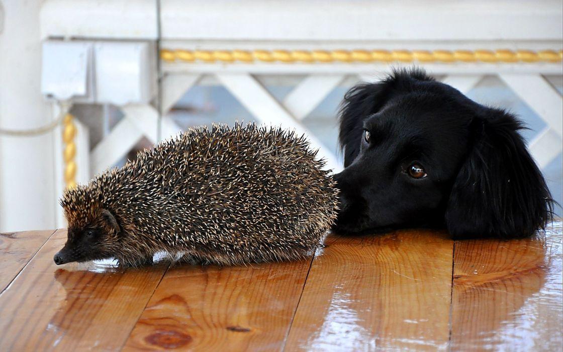 Hedgehog and dog wallpaper