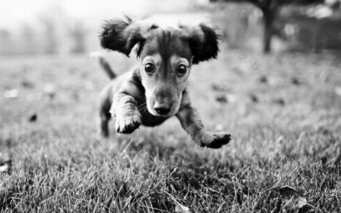 Black and white jumping puppy wallpaper