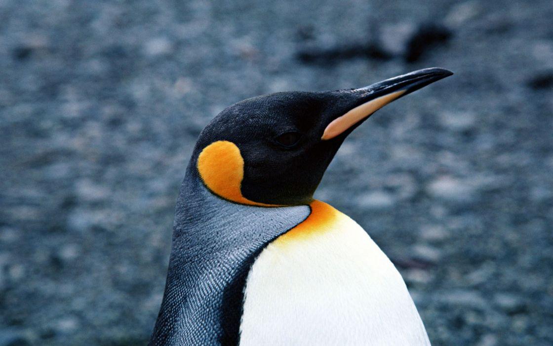 Empereor penguins wallpaper