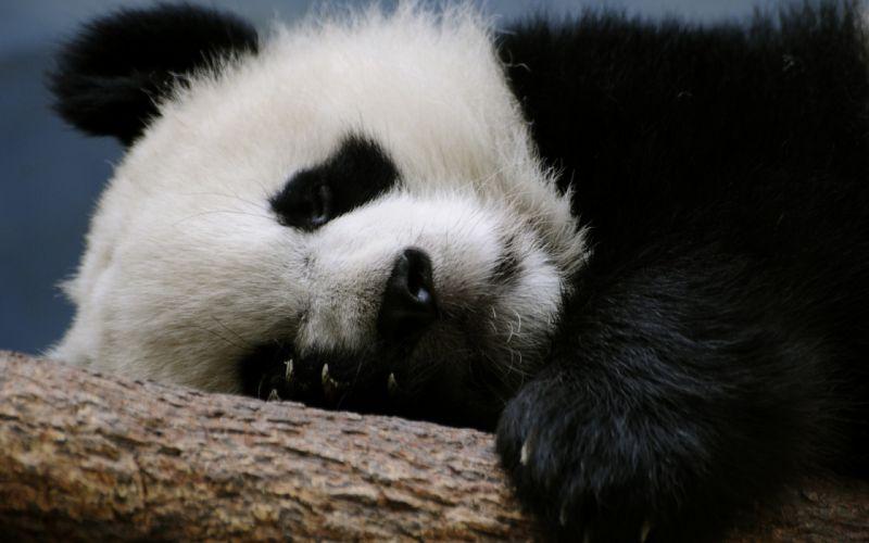 Panda sleeps on a branch wallpaper