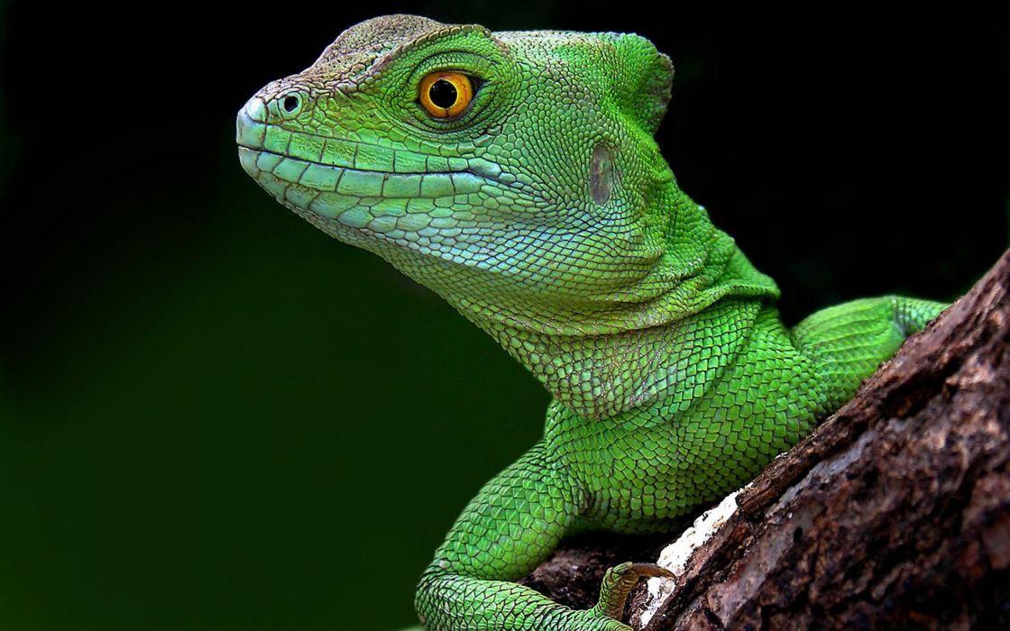 Brazilian green lizard wallpaper