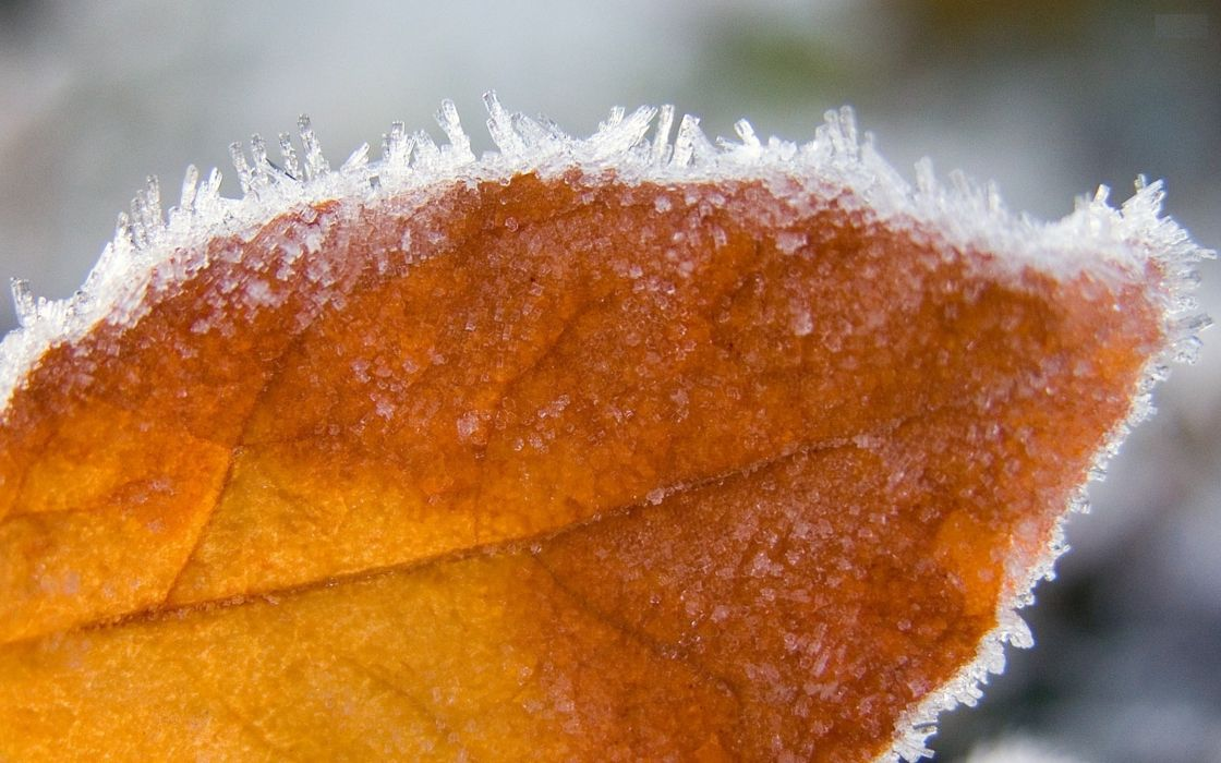 Autumn frozen leaf wallpaper