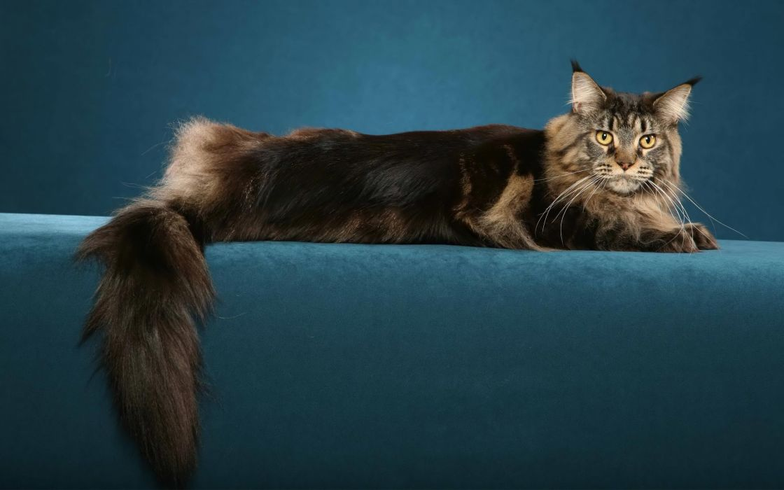 Big hairy cat wallpaper