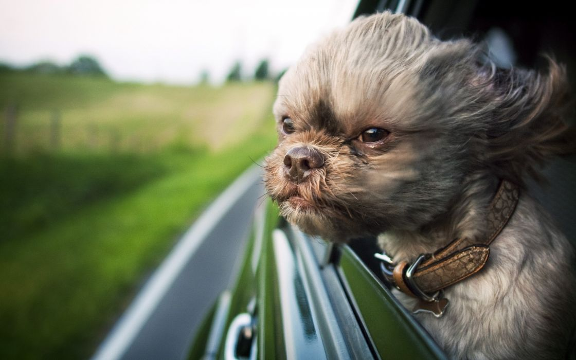 Dog with head out of window wallpaper