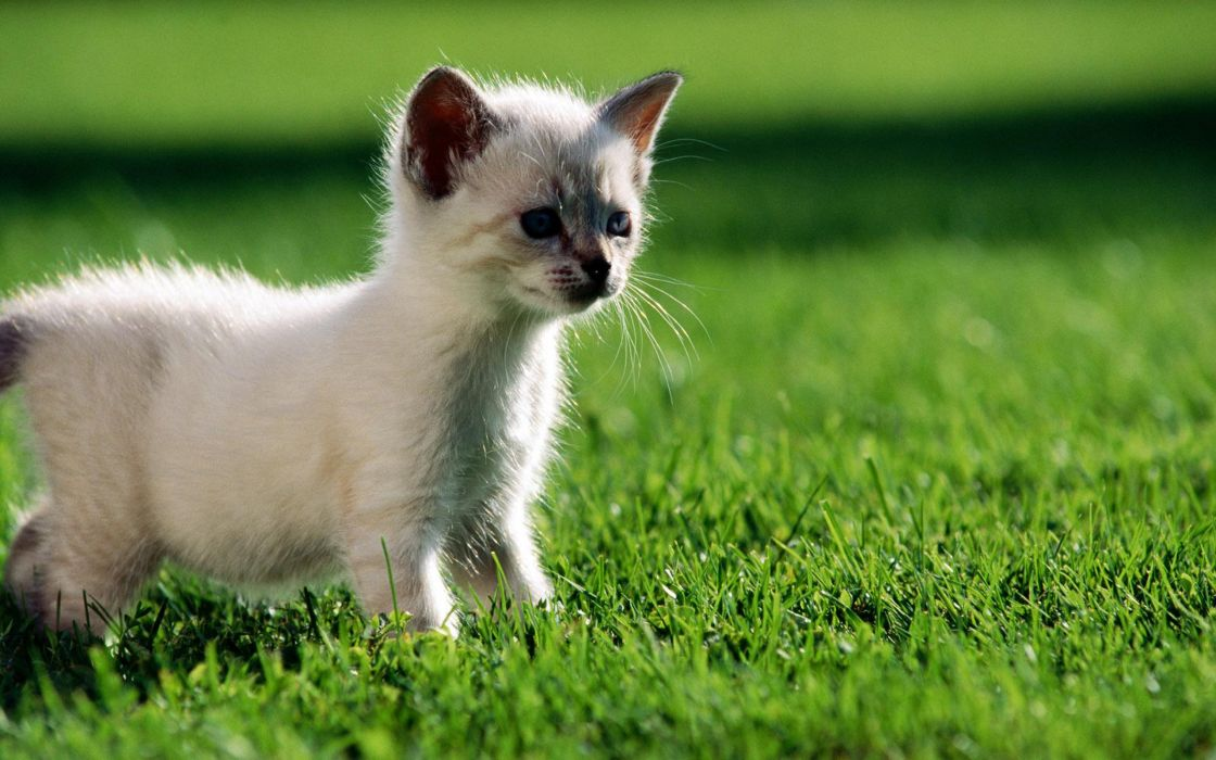 Little siamese kitten in the grass wallpaper