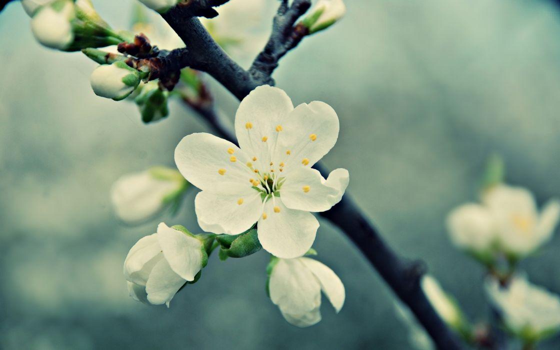 Beautiful white peach flowers wallpaper