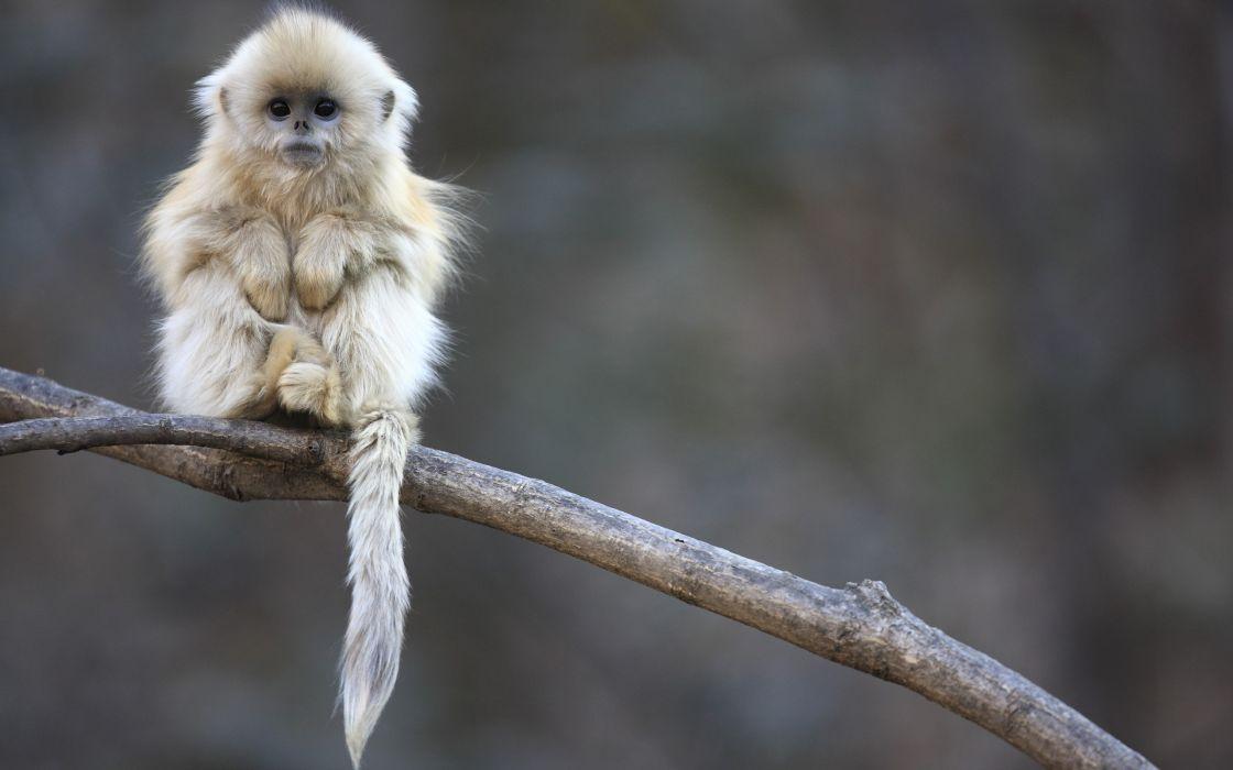 Snub-nosed monkey baby wallpaper