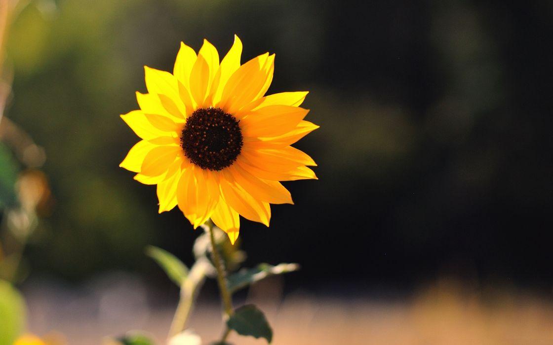 Beautiful little sunflower wallpaper