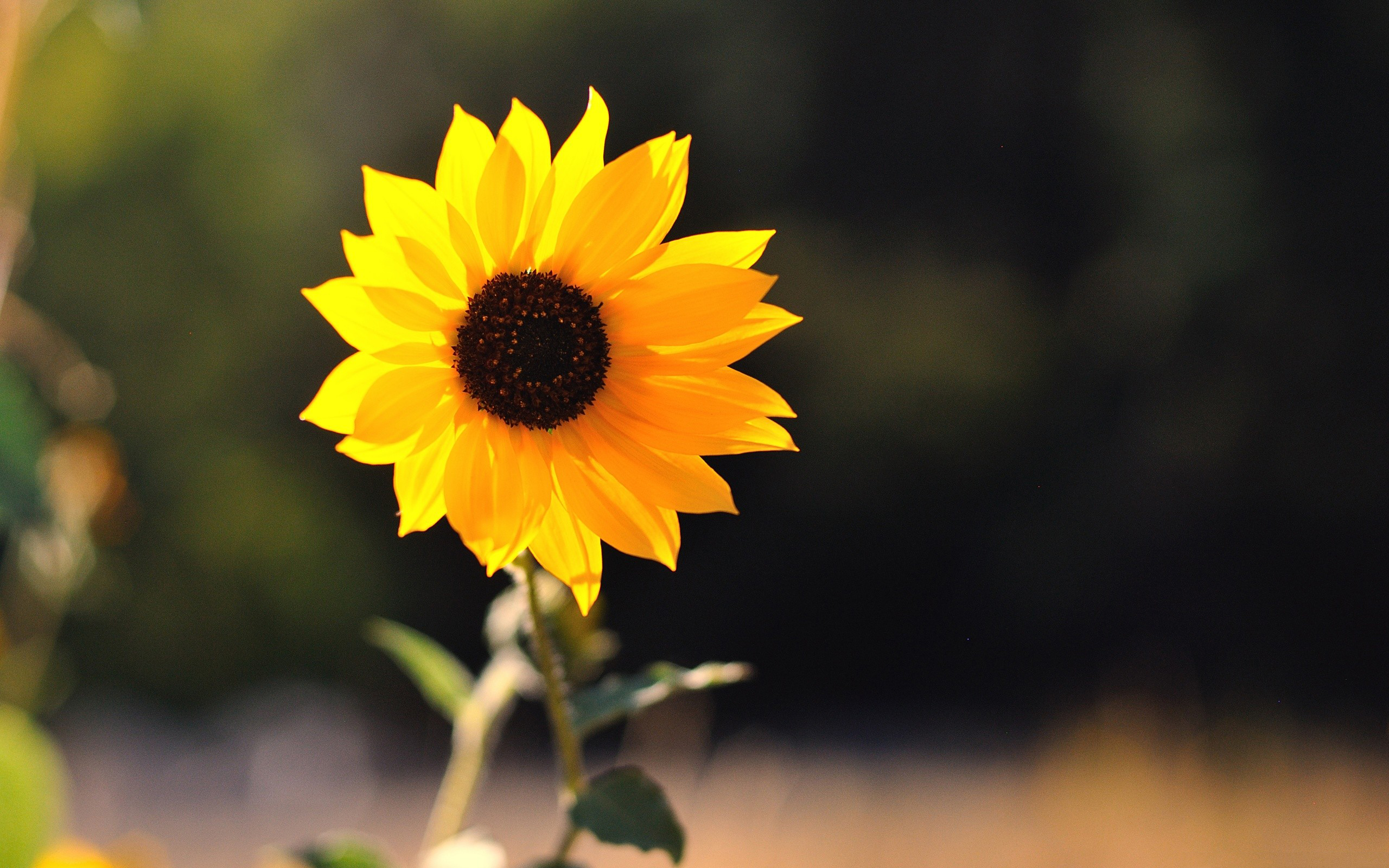 Beautiful Little Sunflower Wallpaper  2560x1600 2141 WallpaperUP