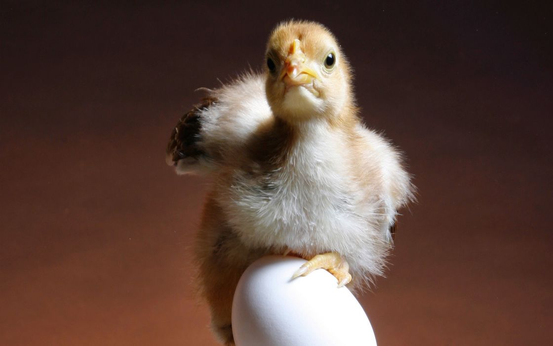 Chick on an egg wallpaper