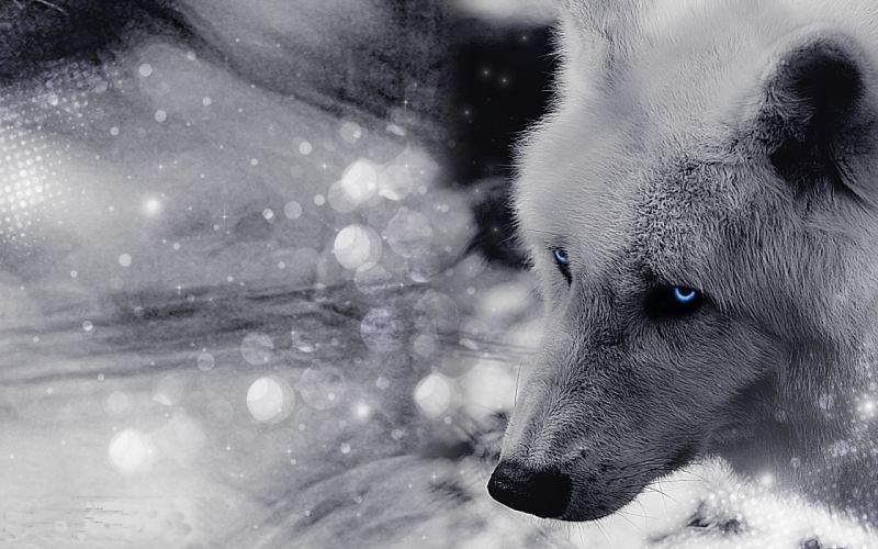 Artic wolf wallpaper