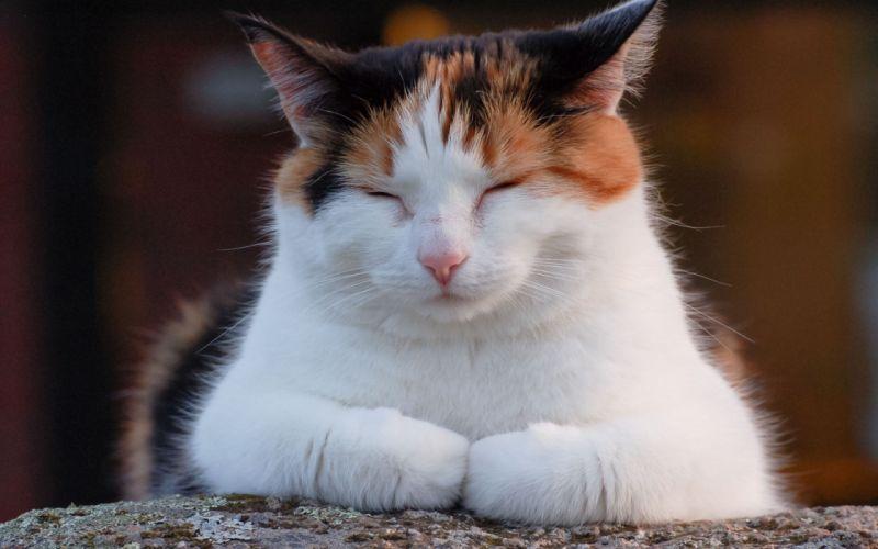 Cat in contemplation wallpaper