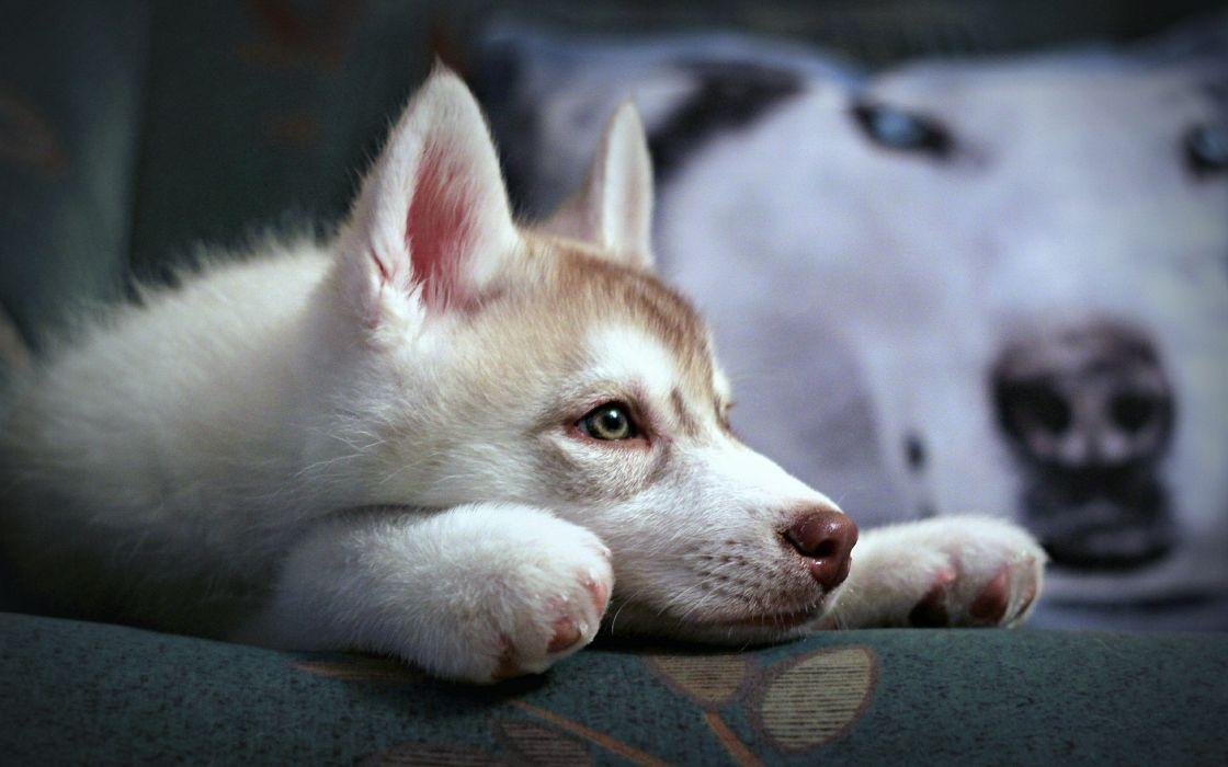 Lazy siberian husky wallpaper