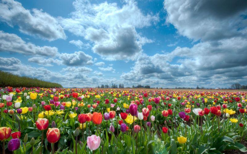 Large tulips field wallpaper
