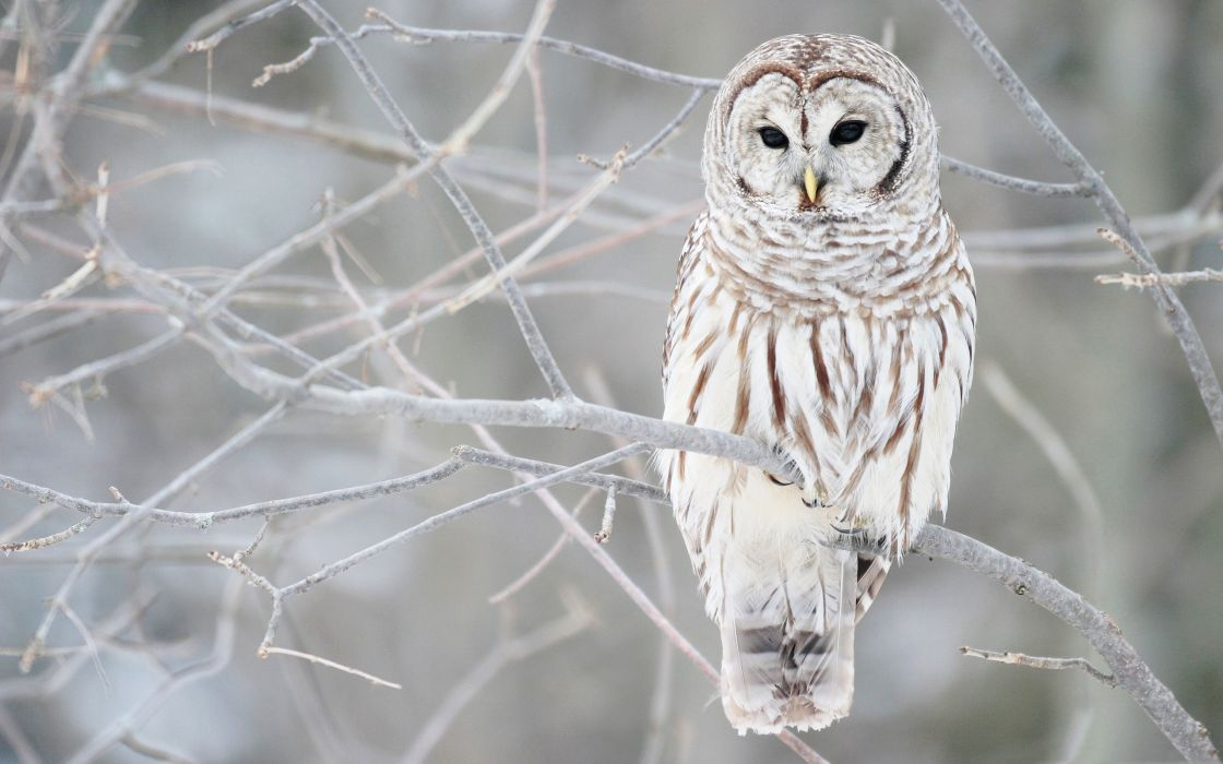 White owl on a branch wallpaper