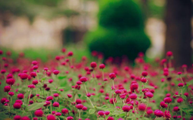 Spring magenta flowers wallpaper