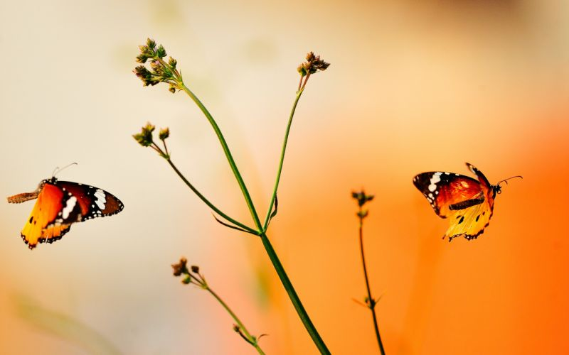 Beautiful orange butterflies wallpaper
