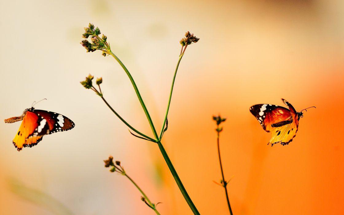 Beautiful orange butterflies wallpaper