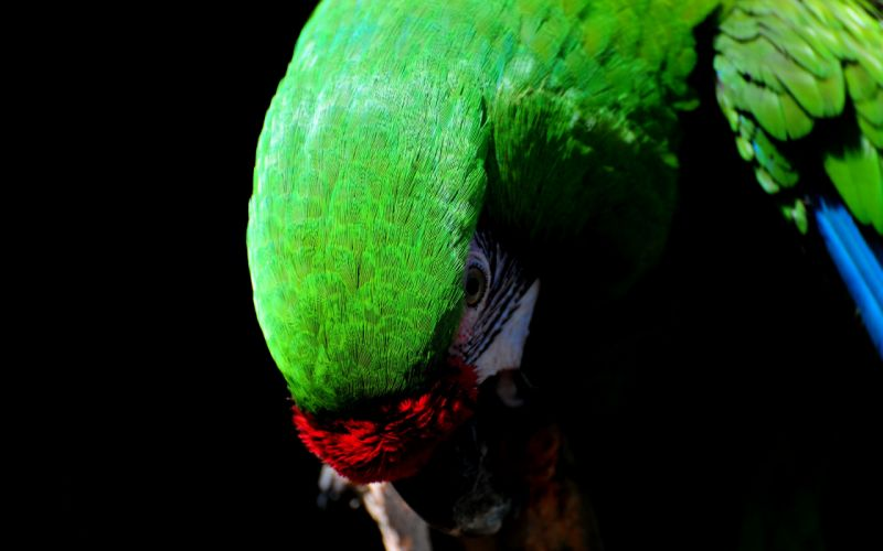 Great green macaw wallpaper
