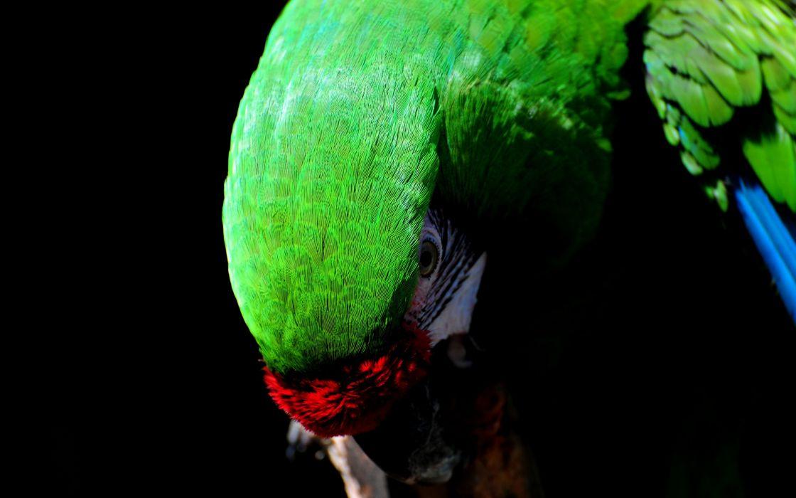 Great green macaw wallpaper