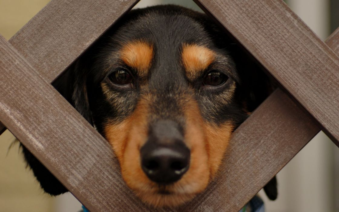 Funny dog in the fence wallpaper