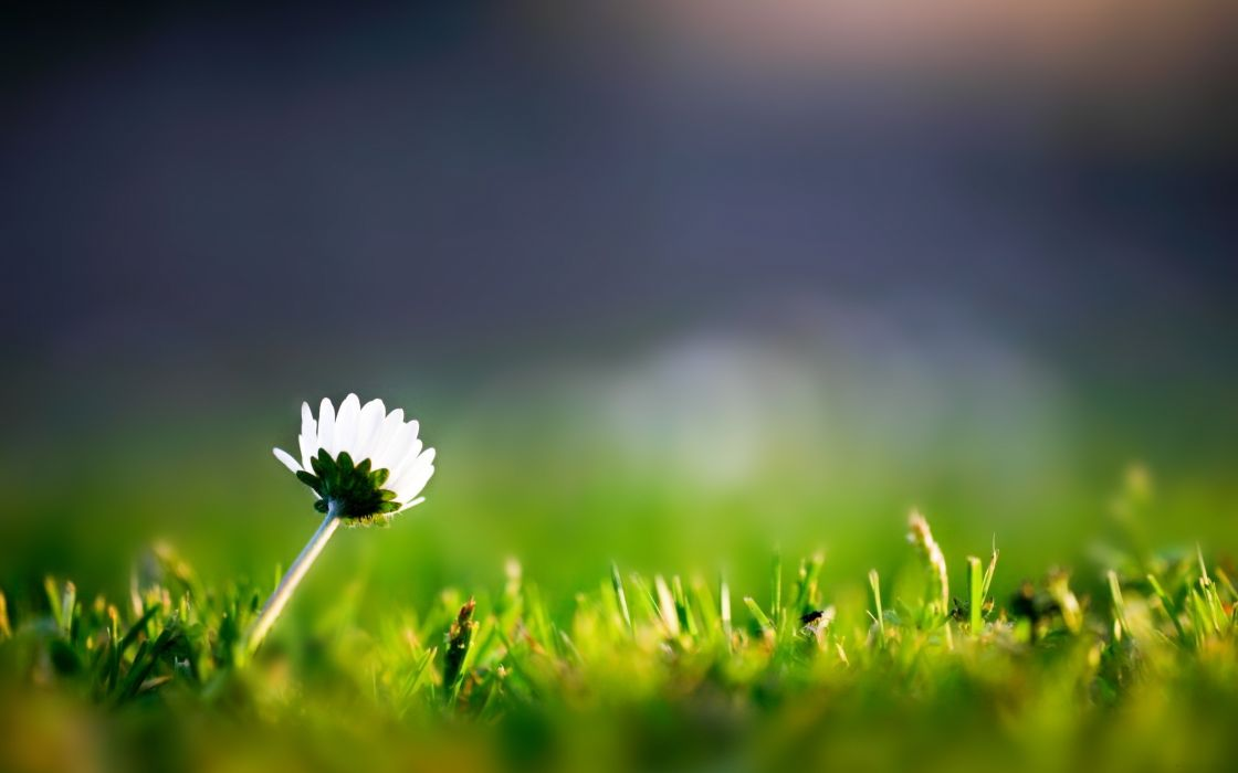 Lone flower in the grass wallpaper