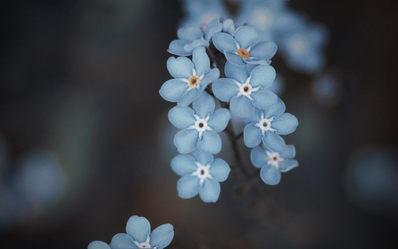 Azules forget me not wallpaper