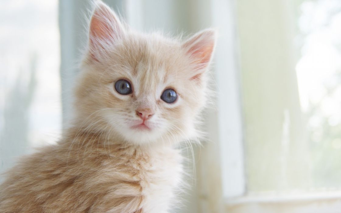 Blonde kitten wallpaper